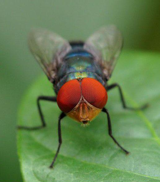 坚挺金苍蝇是什么_苍蝇防治_厦门易优洁有害生物防治有限公司